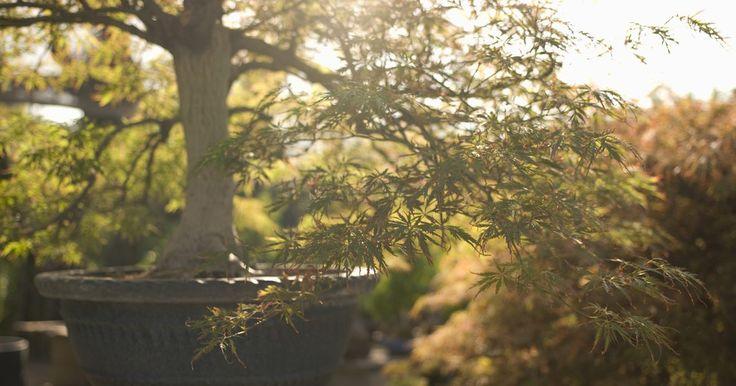 Como conseguir uma árvore normal em um bonsai. Você não tem que começar com uma árvore anã ou em miniatura para fazer um bonsai. Eles podem ser criados a partir de árvores pequenas de muitas variedades, confinando suas raízes. A seguintes árvores são boas candidatas ao bonsai: bordo japonês, zimbro, limoeiro ou arbustos, como as azaleias. Para transformar uma árvore em um bonsai, você deve ...