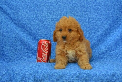 Cavapoo puppies for sale Rhode Island