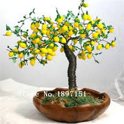 Big venda Bonsai Lemon Tree Seeds elevada taxa de sobrevivência Fruit sementes da árvore para casa Gatden Backyard ( 50 peças ) frete grátis