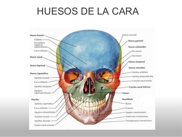 Principales huesos de la cara.