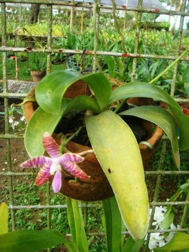 Phalaenopsis Lueddemanniana > PH Hybrid