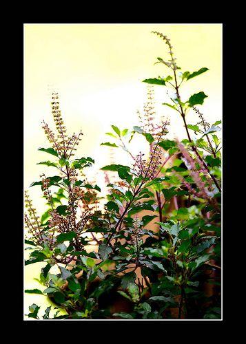 Lord Krishna's favorite Tulsi (basil) plant