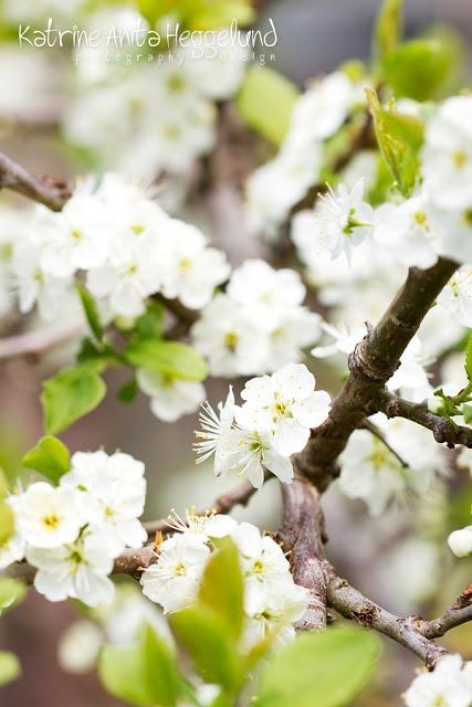 Plommetre som blomstrer. Katrine Anitas magiske verden, www.katanita.net