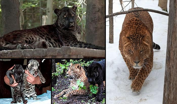 A Jaglion is, as the name hints, a cross between a Jaguar and a lion. It is a beautiful cat, a female called Jahzara, born in Canada. Her father was a Jaguar and her mother a lioness, she is the black one in the photos. The brighter colored jaglion is Tsunami, and they have grown together as cubs.