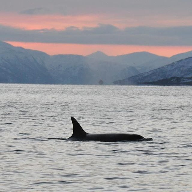 We were SO excited to see killer whales in the wild for the first time. We would love to do it all over again! #killerwhale #orca #spækhugger #tromsø #tromsøfriluftsenter #norway #norge #scandinavia #ignature #igscandinavia #igworldbestshots #igwildlife #topåtur #twodanesontour #danskerejseblogs #rejseblog #lonelyplanet #lonelyplanettraveller #turengårtil #traveltheworld #welovenorway #visitnorway