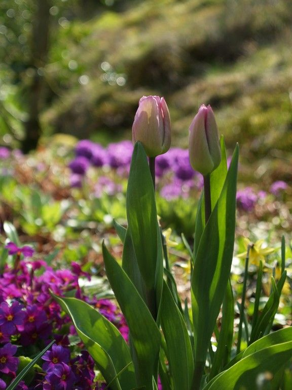 Spring. Tulips and primulas. Best time of the year! May 3rd 2015