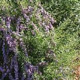 Buddleja alternifolia.  Feuilles étroites caduques. Port souple, longs rameaux retombants. Floraison parfumée rose lilas. Origine : nord-ouest de la Chine.
