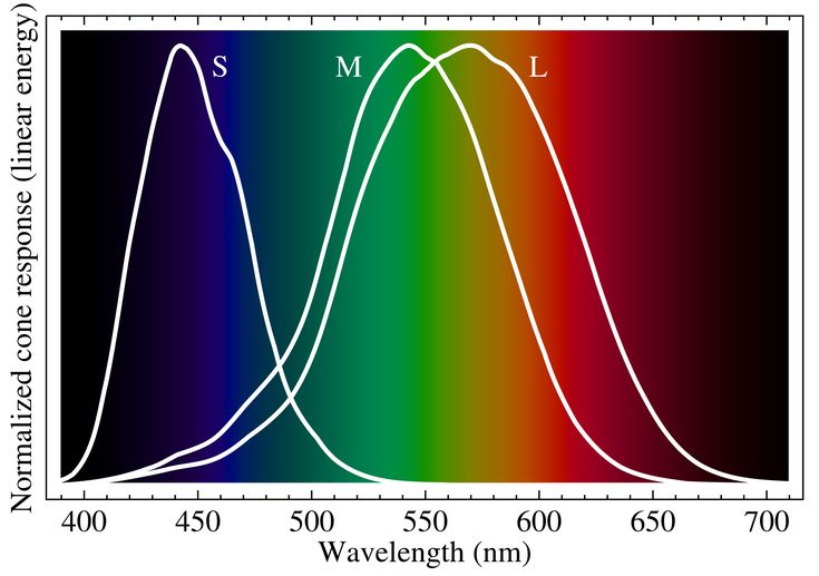 CONE CELLS: Cone cells are at the heart of our color perception; they selectively respond to specific colors. There are three types of cones: L red (long wavelength) cones, M green (medium wavelength) cones, and S blue (short wavelength) cones.