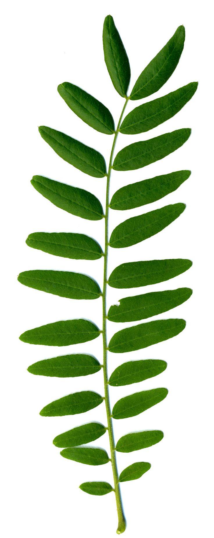Black Locust, Acacia, False Acacia: Robinia pseudoacacia (Synonym ...