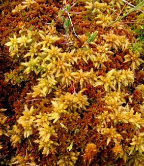 TORVMOSER - Sphagnum spp.