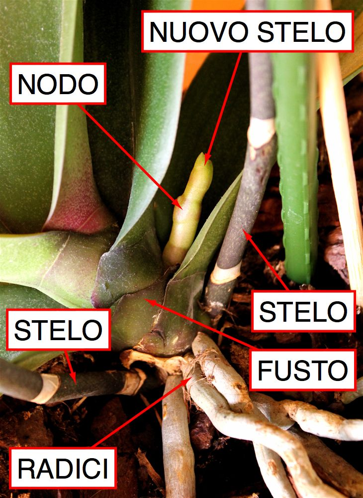 CHAMERION | Blog di giardinaggio, viaggi, natura, itinerari: ORCHIDEA PHALAENOPSIS: POTATURA