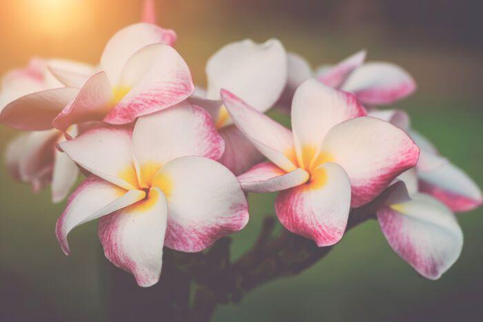 Frangipani Flowers Flower Meanings Flowers Frangipani