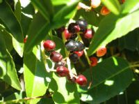 Prunus lusitanica - Laurier du Portugal - jeune plante en motte   www.plantes-et-arbres.com/prunus-lusitanica---laurier-du-portugal---jeune-plante-en-motte-1458-p.asp