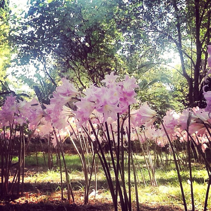 Flowers, pink, smell. Paradise, corfu, greece
