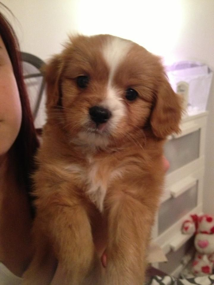 ♥D♥ 329 CAVAPOM PUPPY Puppies, Dog breeds, Cute