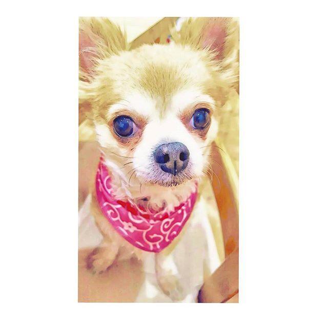 おはようございます(*^^*) #愛犬 #リム #写真加工  #写真 #スケッチ #スケッチ風 #イラスト #朝から #おはよう #モデル #ペットモデル #ペットショップ #バンダナ #フォロー #メス #おばあちゃん #長生き #目 #うるうる #涙 #ジャーキー