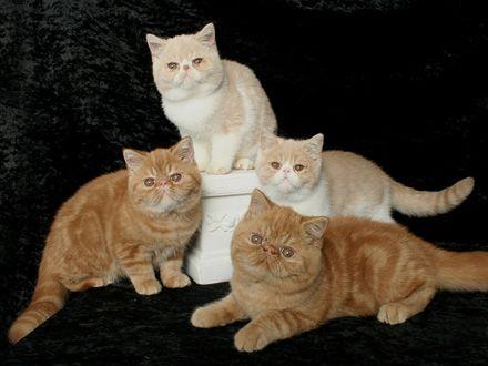 Gatos » Exótico de Pelo Curto - PetMag
