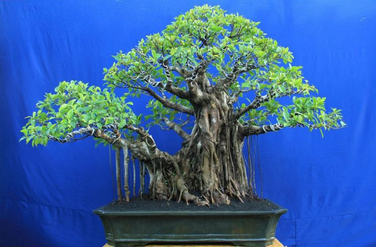 bonsai name: picus SP tree height: 90 cm pot height: 14.5 cm long pot: 76 cm design gede merta collection gede merta