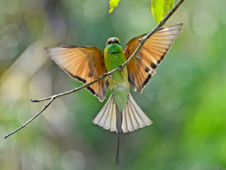 Green Bee-eater | Album: Stray Feathers | Photo Credit: Arpan Saha