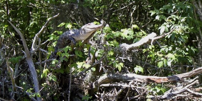 So, Turns Out Crocodiles Can Climb Trees - Wired Science