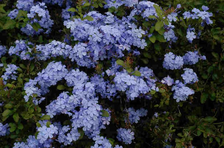 Plumbago is a drought-tolerant shrub that thrives in full sun and produces a periwinkle blue flower.