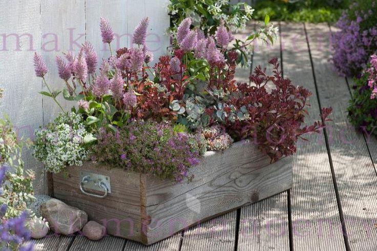 Holzkiste bepflanzt als Mini-Garten : Ptilotus exaltatus 'Joey' ( Australischer Federbusch ), Sedum spurium 'Fuldaglut' und sieboldii ( Fetthenne ), Thymus serphyllum 'Albus' 'Coccineus' ( Sand - Thymian ), Sempervivum ( Hauswurz )