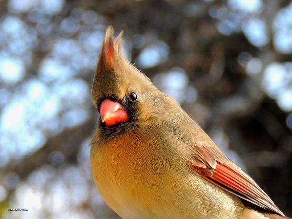 Cardinal Bird, Bird Photography, Female Cardinal. Home Decor. Nature Prints, Bird Art, Modern Art