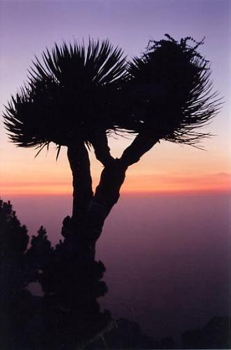 Dragon tree at sunset, Las Tricias, Garafia