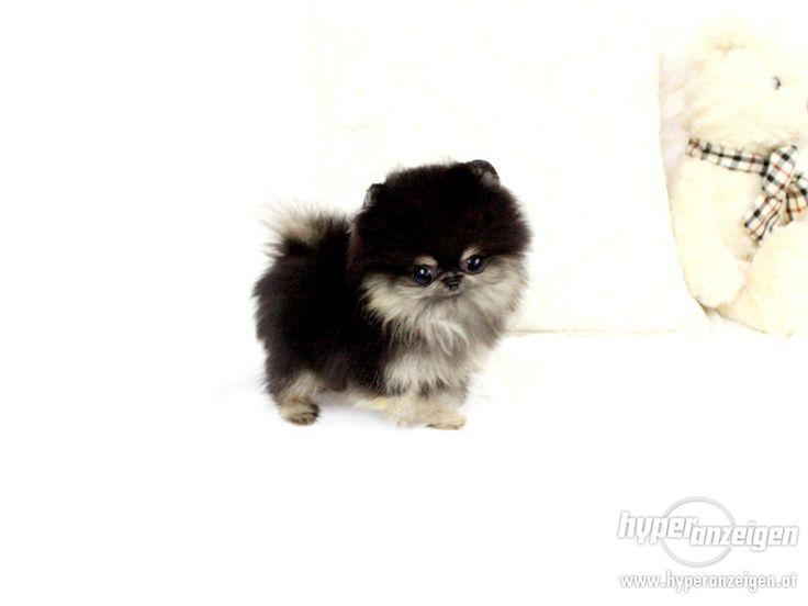 Les 25 meilleures idées de la catégorie Pomeranian husky