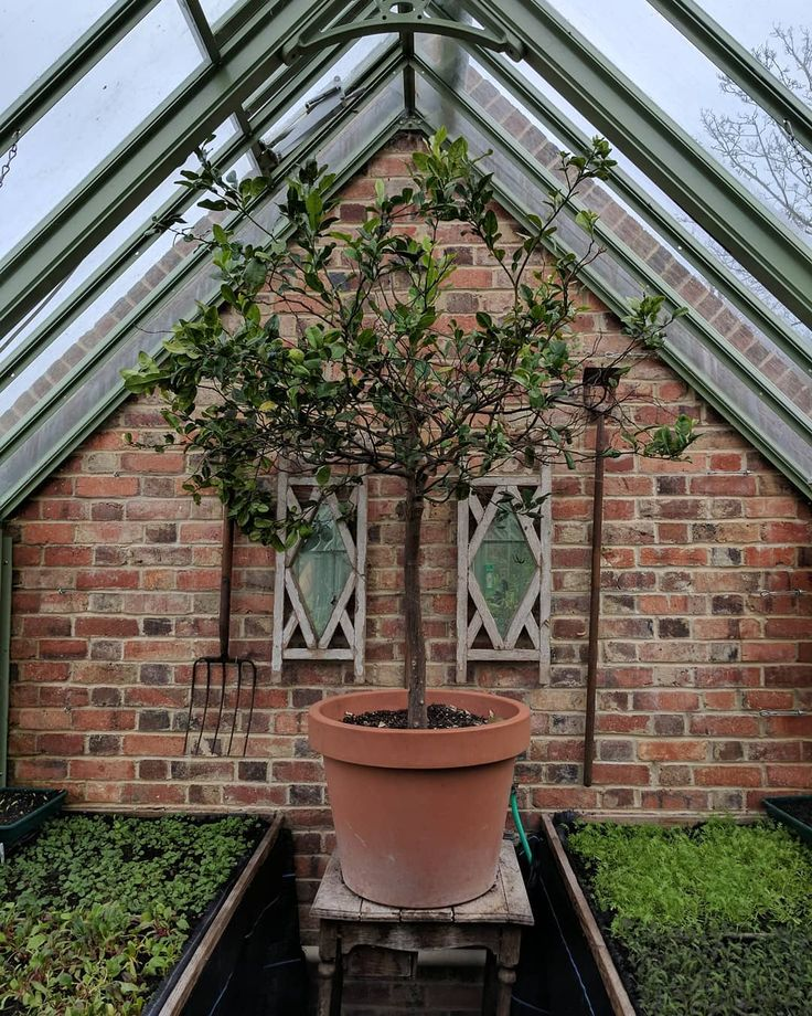 Giant lime tree or tiny greenhouse?