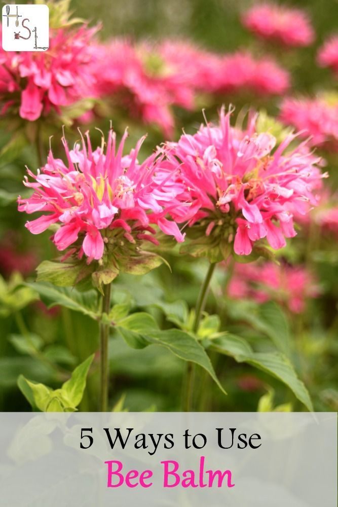 Bee balm is good for pollinators as well as being tasty and medicinal for us, these 5 ways to use bee balm will help you keep it in your home.