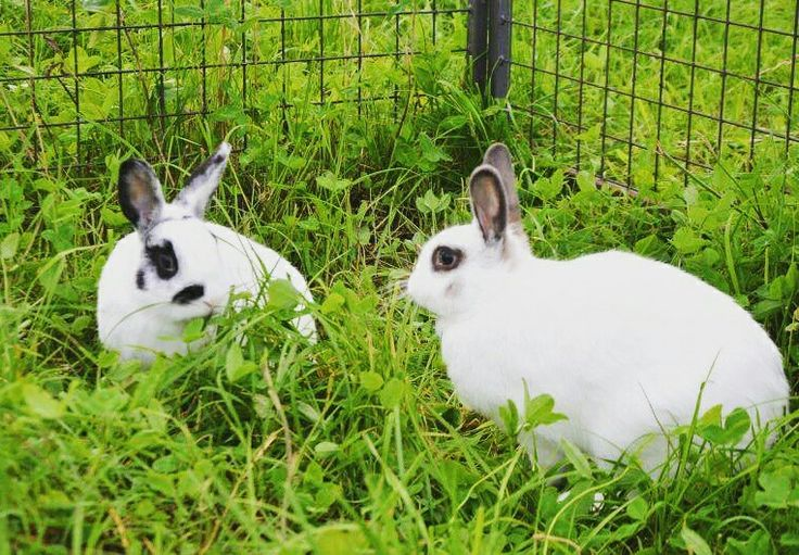 Adoptable couple: Ginger and Fred #Hase #Kaninchen #dontshopadopt #rabbit #rabbits #adoption
