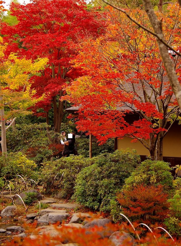 昭和記念公園の紅葉 Autumn leaves of Showa Memorial Park Japan