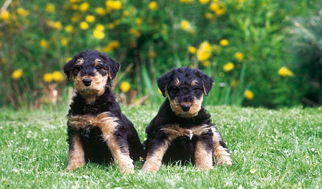 OMG what adorable Airedale Terrier Puppies