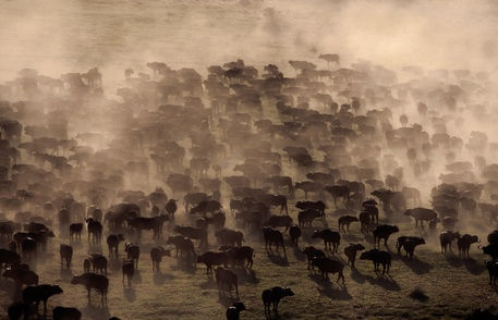 Aerial of large herd of Cape buffalo (Syncerus caffer). by Lonely Planet Images on artflakes.com as poster or art print $18.44