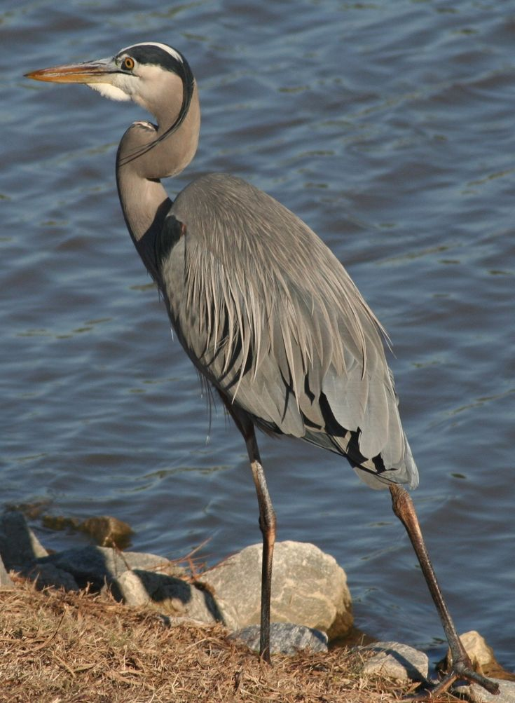Great Blue Heron by D. Pugh http://dpughphoto.com/images/great%2520blue%2520heron%2520durham%2520122305.JPG
