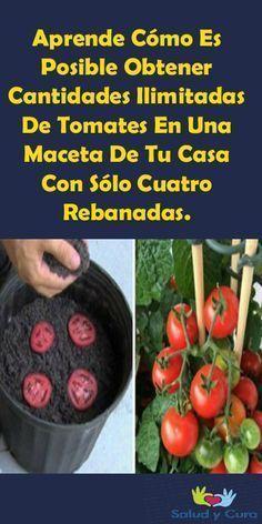 Aprende Cómo Es Posible Obtener Cantidades Ilimitadas De Tomates En Una Maceta …