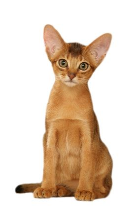 Abyssinian Cat Personality   Abyssinian cat is an active, energetic and playful cat. This is a cat ...