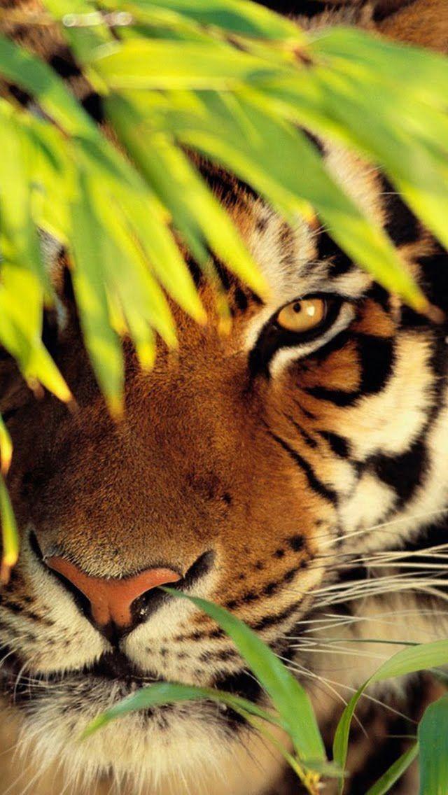 Un tigre disfrutando mientras acecha desde la sombra