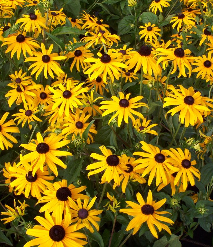 Rudbeckia Goldstrum. June to Sept. Height 60. Spread 60cm. Top gardeners top ten variety. Masses of 13cm wide flowers are produced from mid summer until the first frosts. Compact, height and spread of 60cm. Has an RHS award of garden merit.