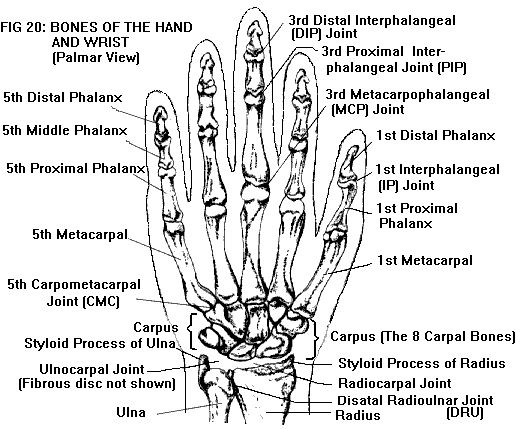 Hand Anatomy https://www.facebook.com/pages/Yoga-Society/321264924688164