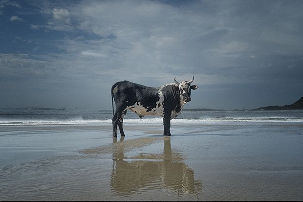 PORTRAITS OF SOUTH AFRICAN COWS ON THEIR DAILY PILGRIMAGE TO THE BEACH