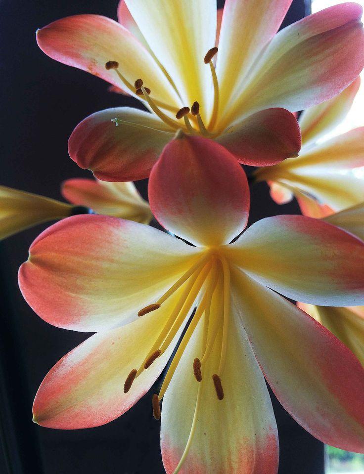 Clivia Closeup  Photo by Martha van der Westhuizen