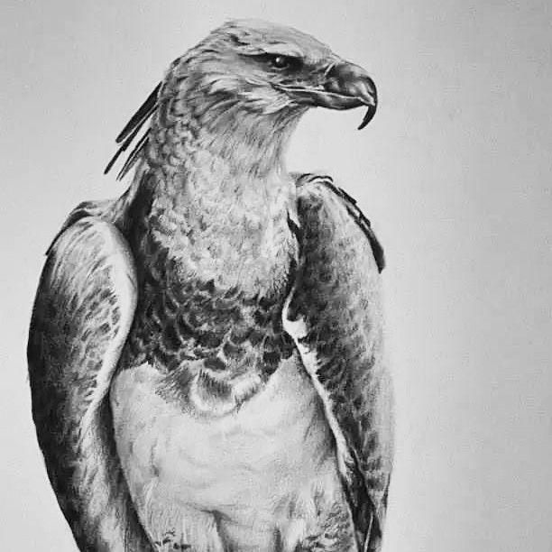 Dibujo realismo Águila Arpía. Obsequio a Carlos Eduardo ...