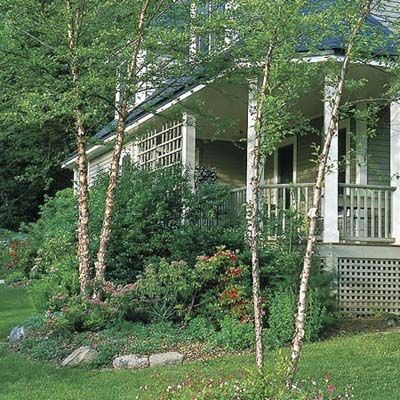 Heritage river birch  (Betula nigra 'Cully')  Zones 4–9    This multi-stemmed tree develops an irregular crown. Deciduous leathery green leaves turn yellow in fall; salmon-white to brownish peeling bark. Grows 40–60 feet high and wide; prefers moist, acid soil and partial shade.