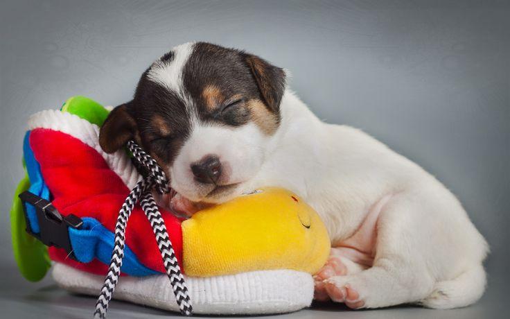 спящий щенок: 14 тыс изображений найдено в Яндекс ...  Новорожденные Щенки Таксы