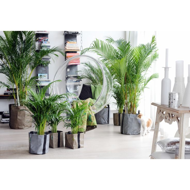 Areca Palm (potmaat 24 cm) - Planten - GroenRijk webshop