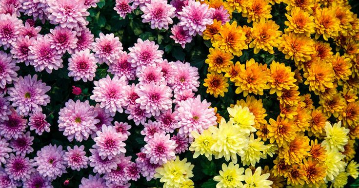 Sabia que existem mais de 100 espécies de crisântemos no mundo? Podem ter variadíssimas cores, mas os mais comuns são os cor de rosa, amarelos, cor de laranja e brancos. Conheça os exemplares outonais dos crisântemos que dão mais cor aos canteiros e ao seu jardim. #oleomac #oleomacportugal #crisântemos #outono #jardim #flores #canteiros #casa #estilodevida #gosto #cores #rosa #laranja #amarelo #branco