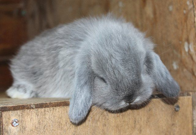 Mini Lop/Holland Lop Rabbit...I want one!