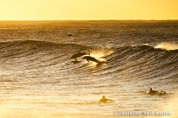 Surfing dolphins in Bronte this morning